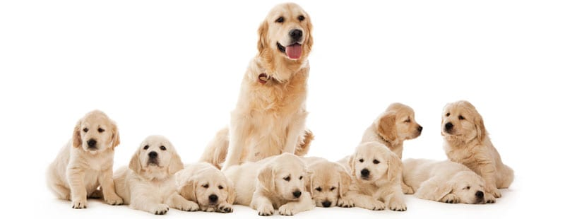 How Long Are Dogs Pregnant Before They Give Birth